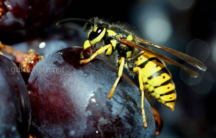 осы пожирают плоды сада