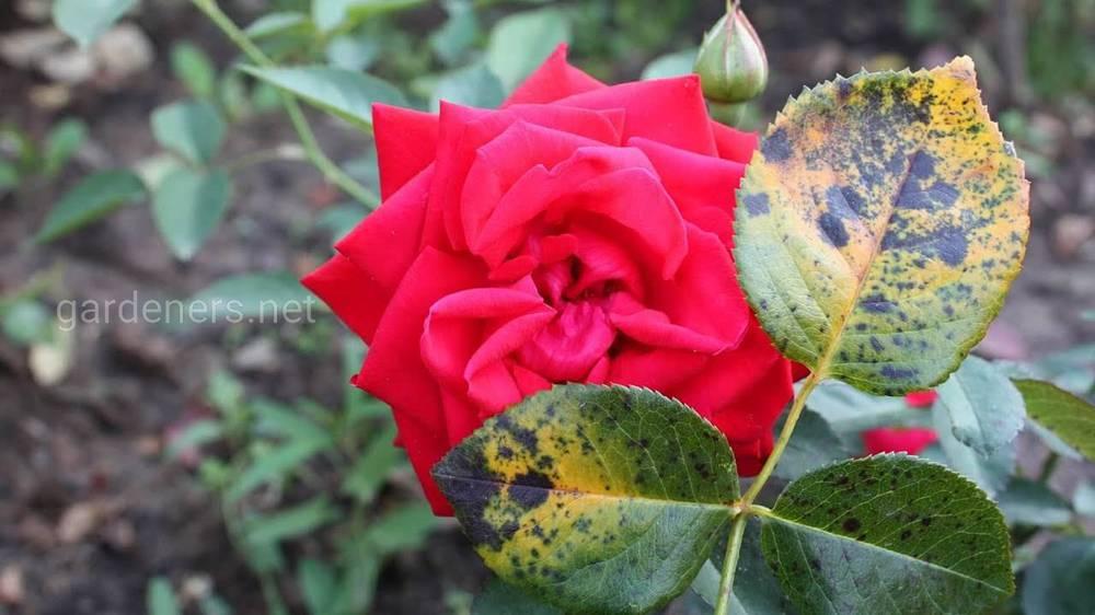 Чёрная пятнистость на розах