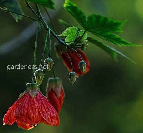 Abutilon sellovianum