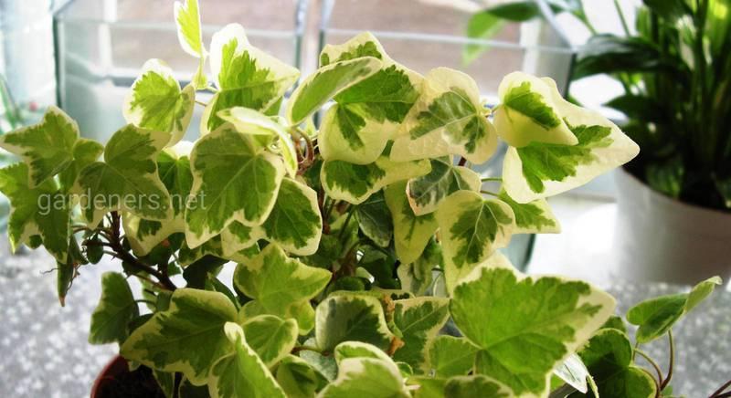 Вирощування кімнатного плюща, розмноження і захист від шкідників