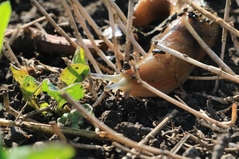 Якої шкоди завдають равлики та як від них позбутися?