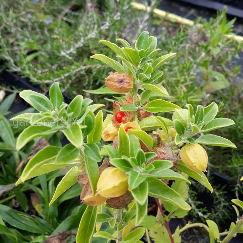 Какие растения адаптогены помогут в борьбе со стрессом и повысят иммунитет?