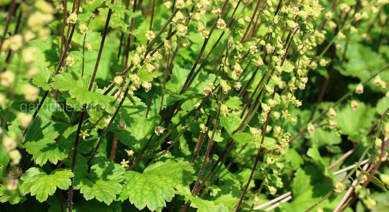 Травянистый многолетник теллима: характеристики растения и рекомендации по выращиванию