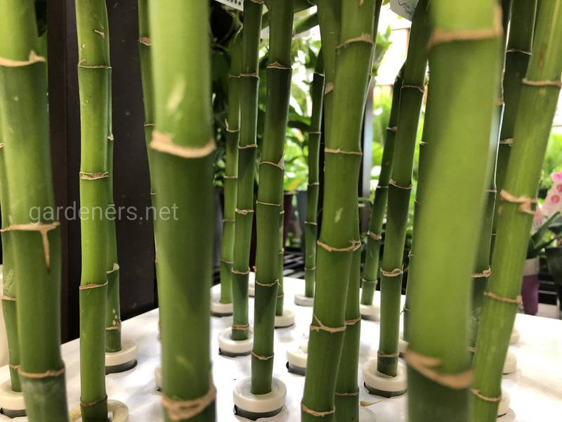 Как выращивать бамбук в банке?