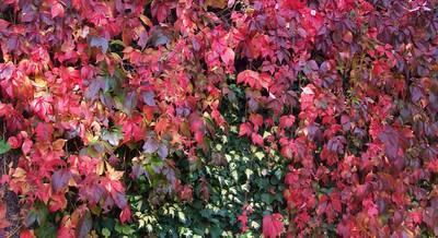 parthenocissus-quinquefolia1.jpg