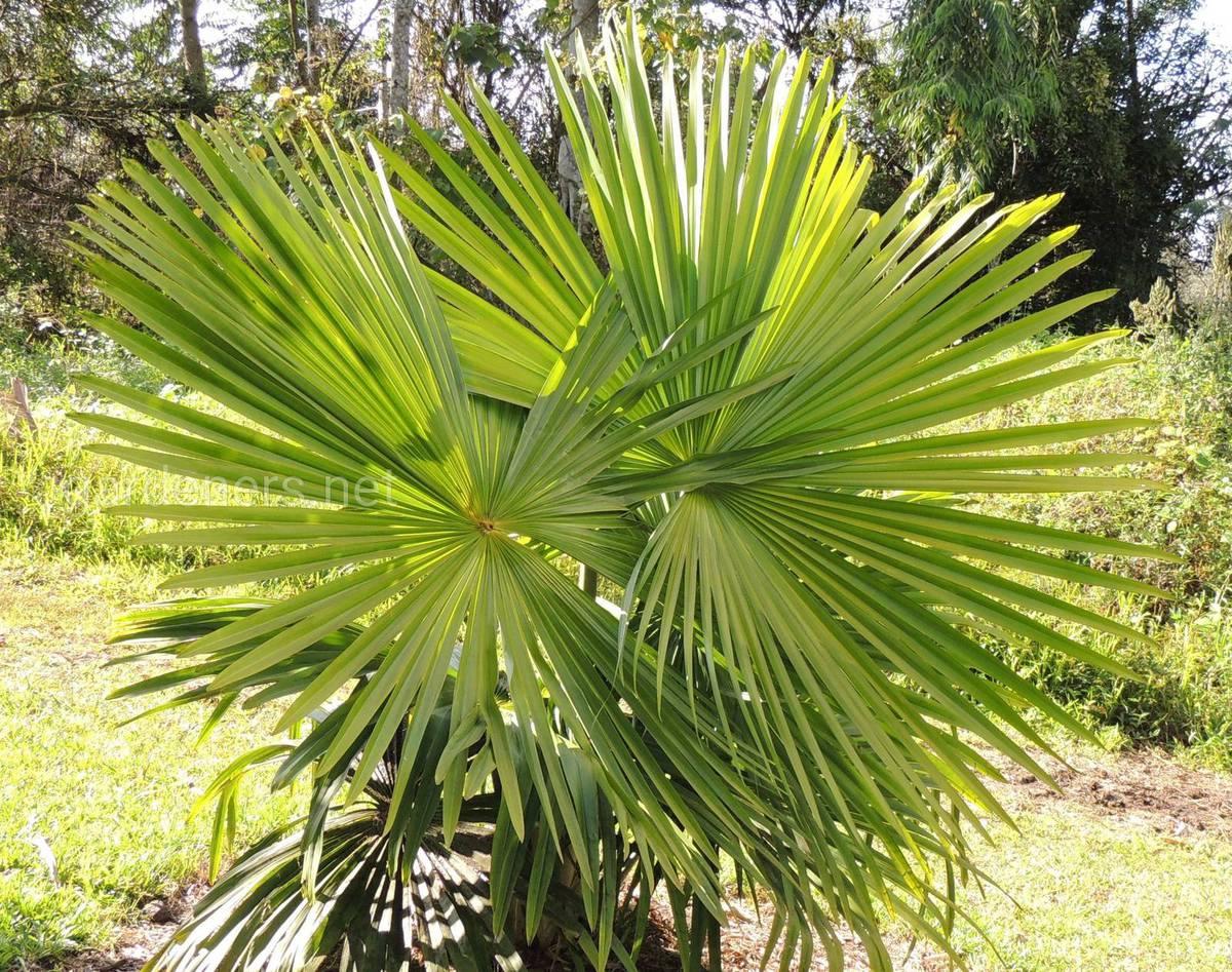 Пальма-самоубийца
