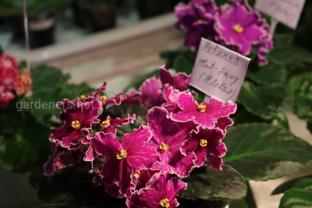 фиалки коллекционер цветов Нина Левая.
