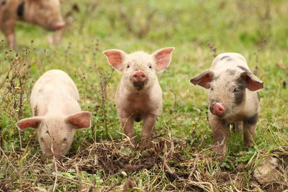 Чем кормить свиней