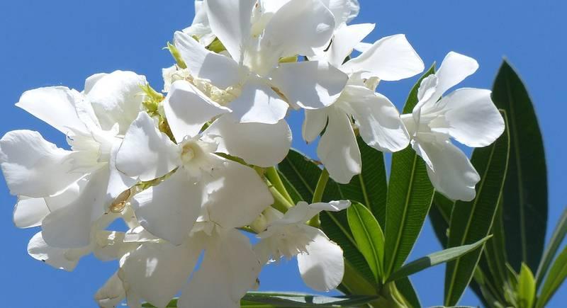 oleander-887601_1920.jpg
