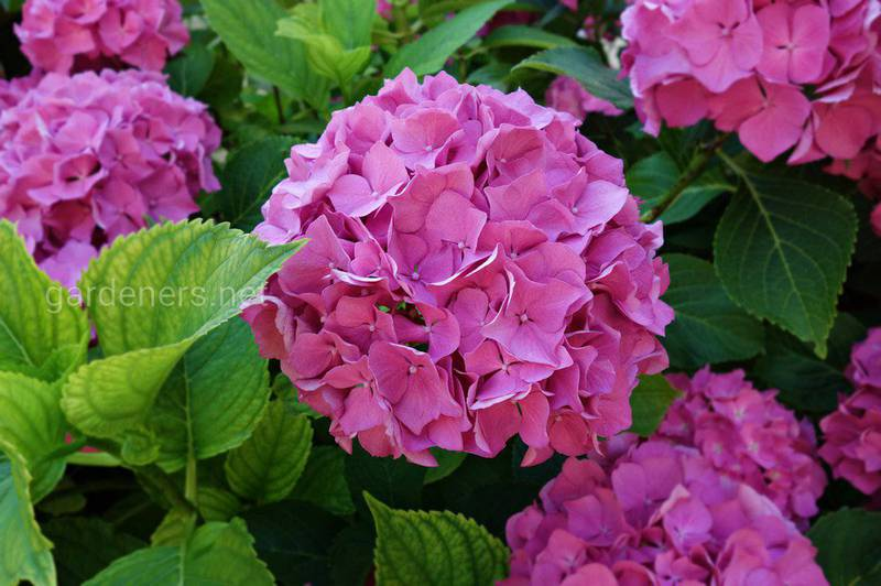 Гортензия - аристократический цветок в вашем саду
