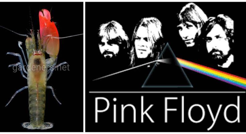 Ученые почтили любимую рок-группу, назвав новый вид креветок в честь Pink Floyd