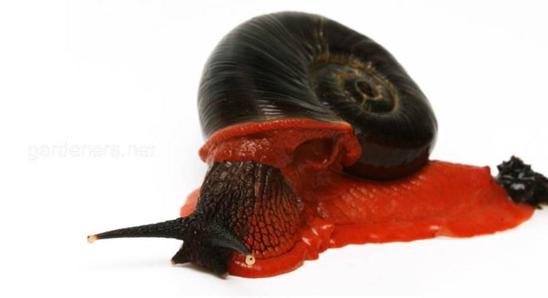 Огненная хемиплекта или улитка-Дракула - редкий вид с исключительной окраской