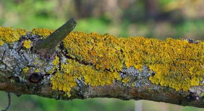 Как избавиться от мха и лишайников на плодовых деревьях.jpg