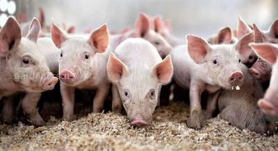 Организация бактериальной подстилки для сельхоз животных