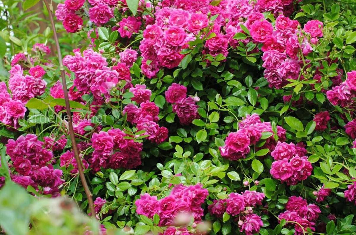Сорт штамбовой розы Супер Эксцельза