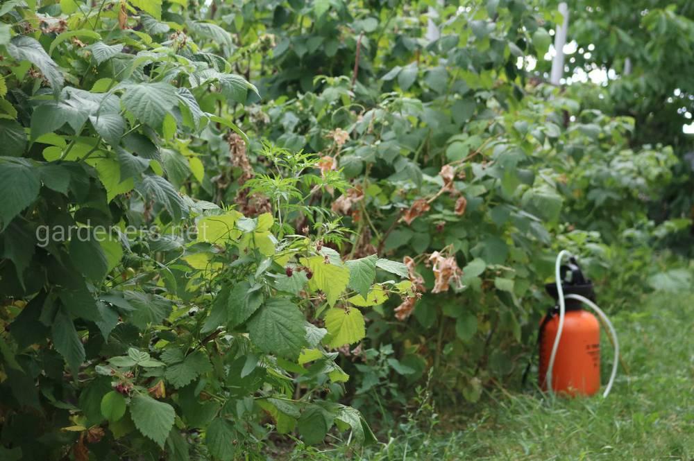 Удобрение ягодника в августе
