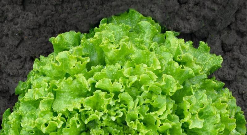 Урожайные сорта салата типа Батавия