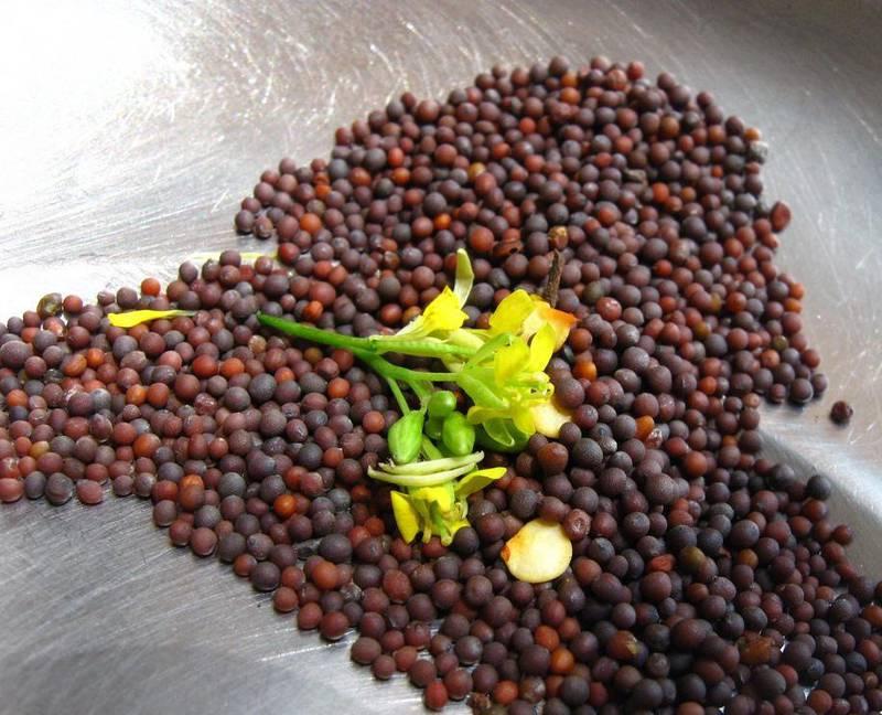 Чем отличается белая горчица от черной? Применение в сельском хозяйства и кулинарии
