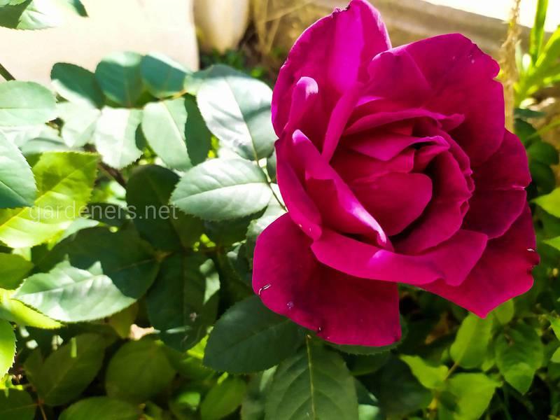Які існують органічні варіанти захисту троянд від борошнистої роси?