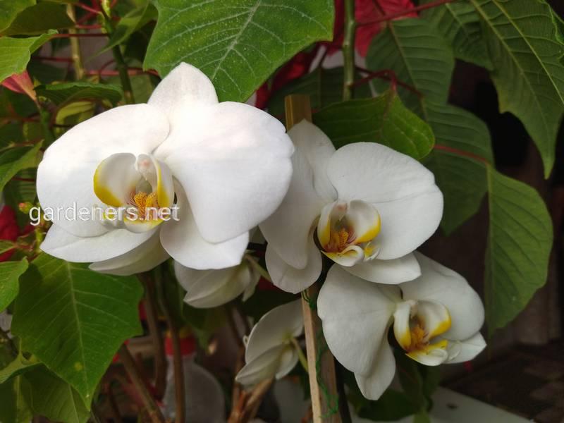 Трюк для гарантованого повторного цвітіння орхідеї: напій, який орхідеї люблять більше, ніж воду