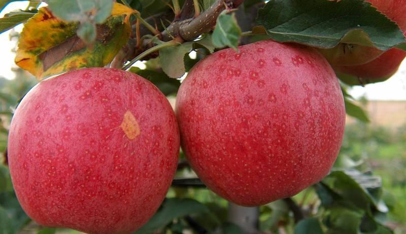 "Яблоня домашняя ""Гала"""