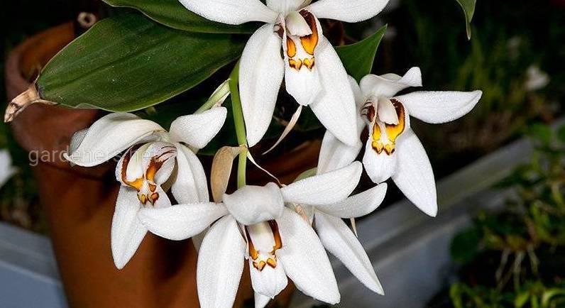 Как происходит развитие орхидеи Целогина посезонно и как за ней правильно ухаживать?