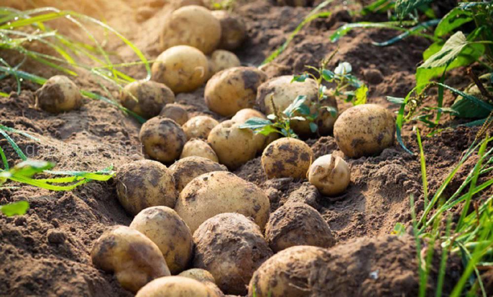 Посадка картофеля в теплице