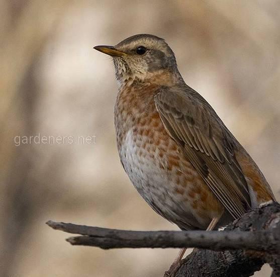 Птица дрозд