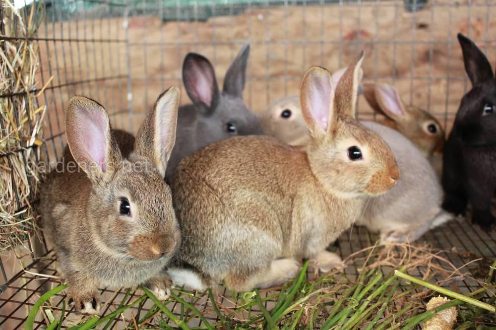 Як та чим годувати кролів