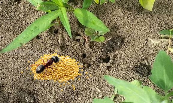 пшено от муравьёв