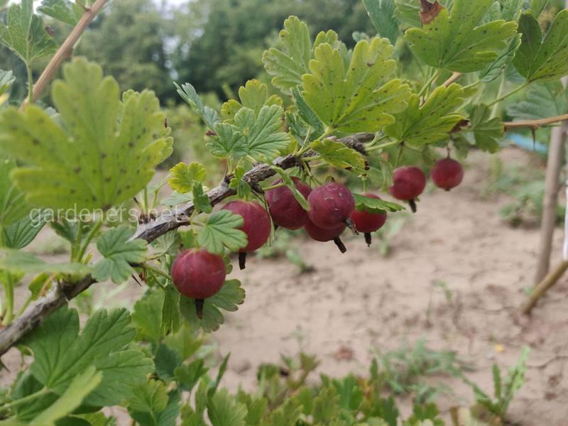 Какие ягоды можно выращивать на небольшом дворе?