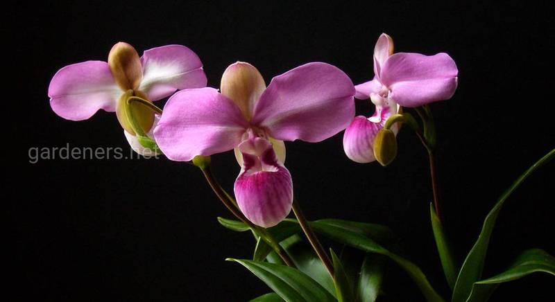 Как правильно поливать и подкармливать орхидею?