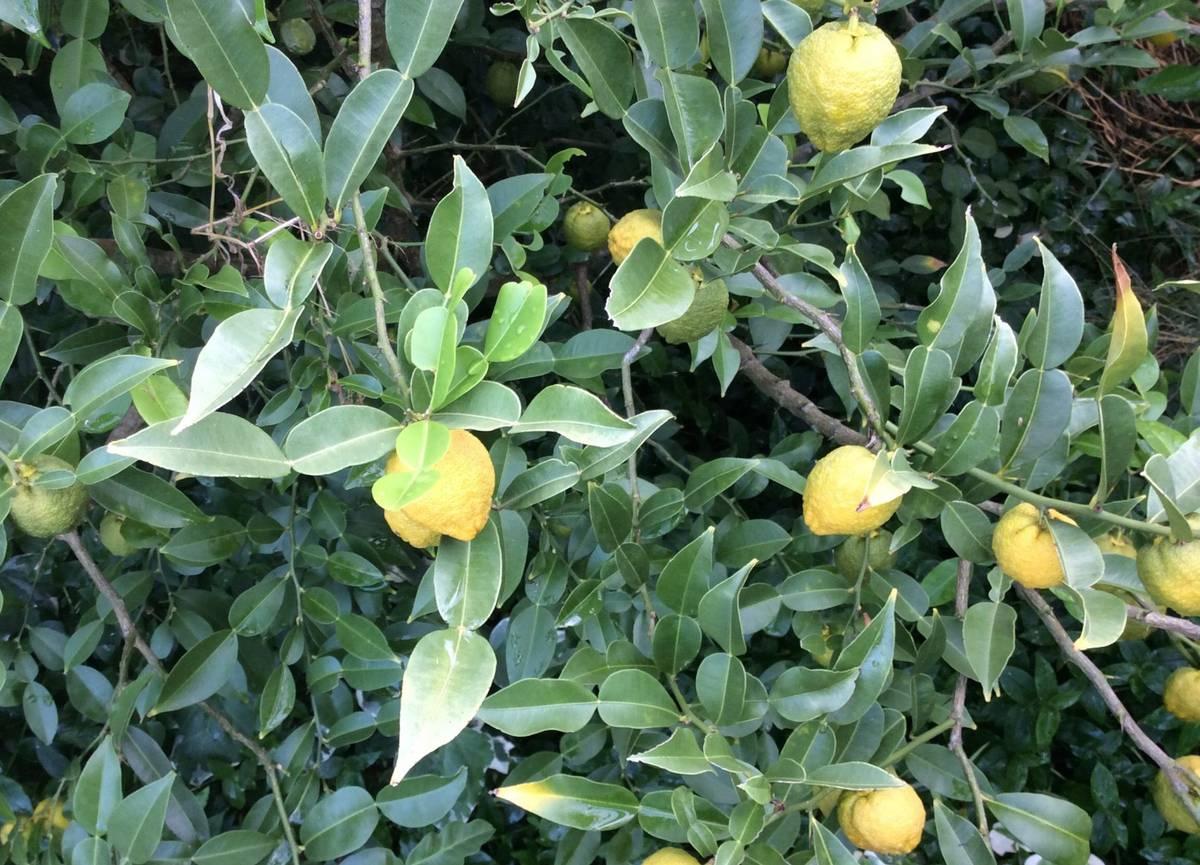 ичанг лимон