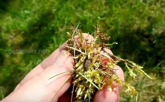 Как удалить мох с газона
