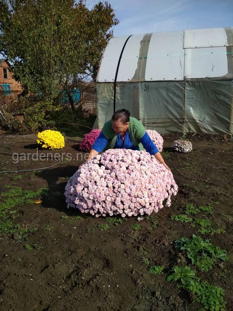 Хризантема мультифлора – красивый шарообразный цветок