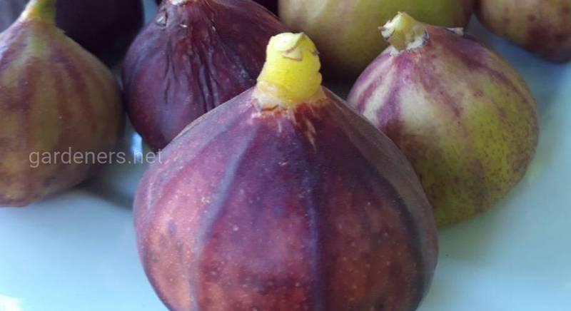 Инжир, или винная ягода в каждый дом!