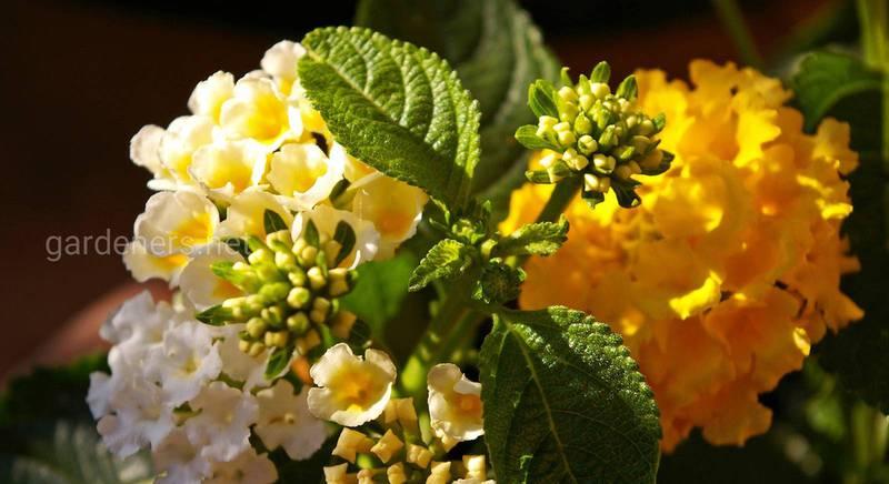 Лантана: выращивание и уход за ярким солнечным растением с изобилием цветов