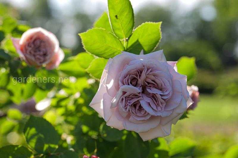 Попелиця на трояндах: ефективні методи боротьби зі шкідником