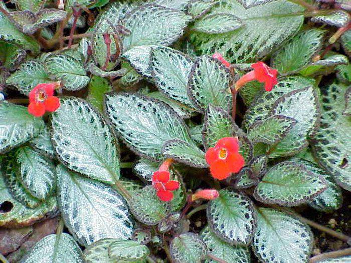 Еспіція, як доглядати за рослиною?