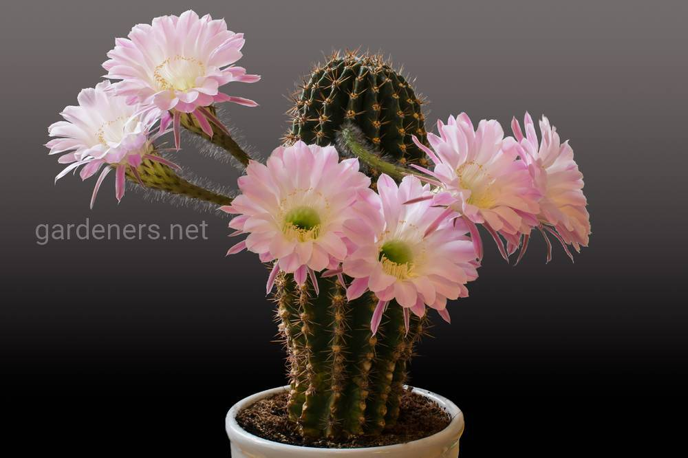 Cactuses_Closeup_Gray_background_Pink_color_544174_3300x2200