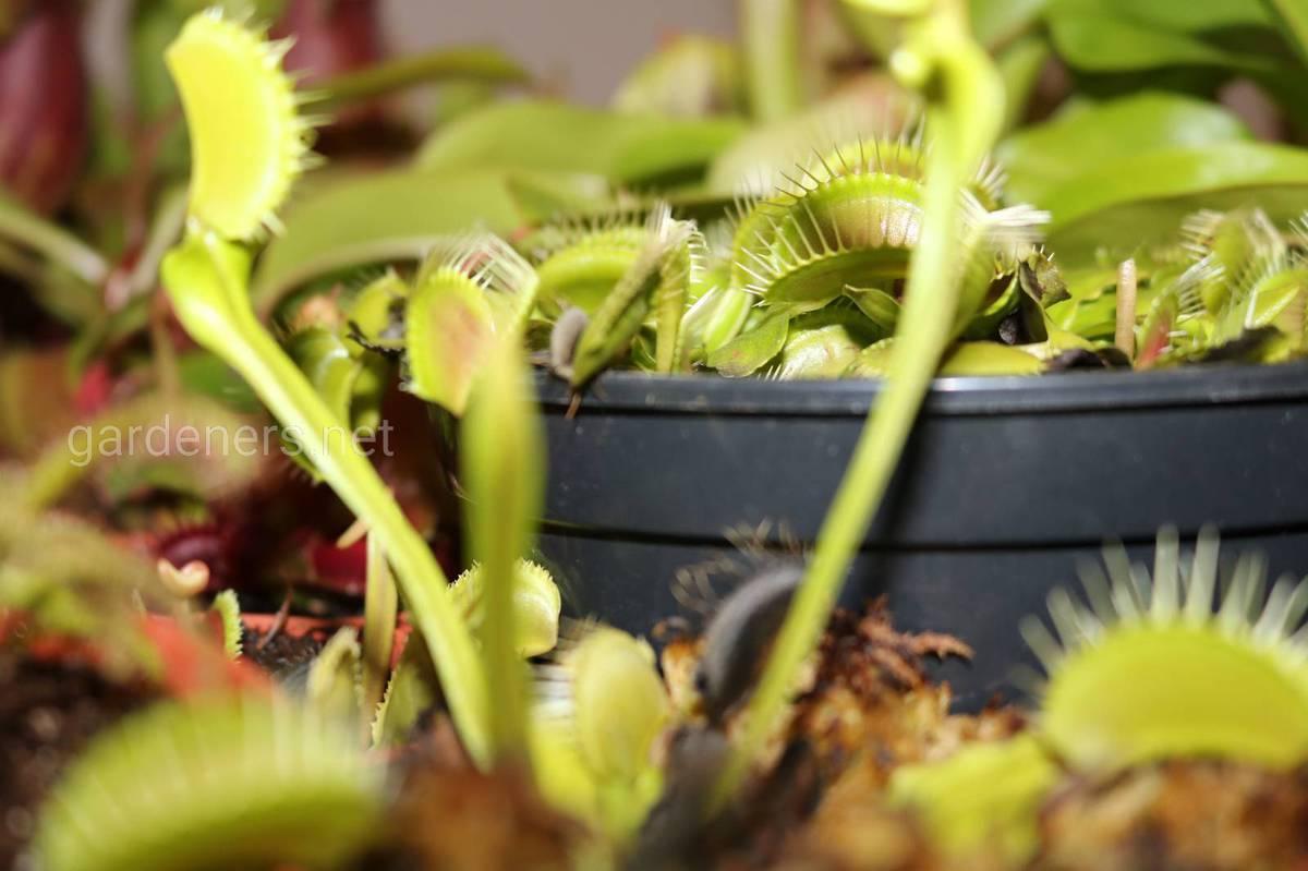 Как выращивать хищный цветок в доме