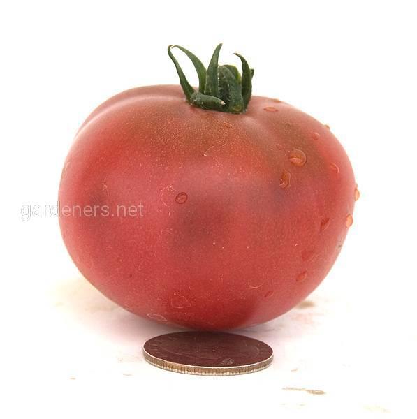 Dwarf Marry's Cherry