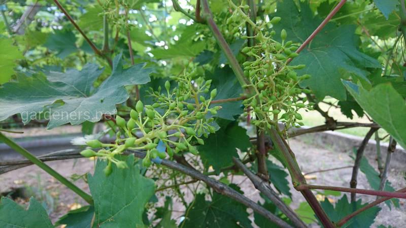 Як доглядати за виноградом після цвітіння?