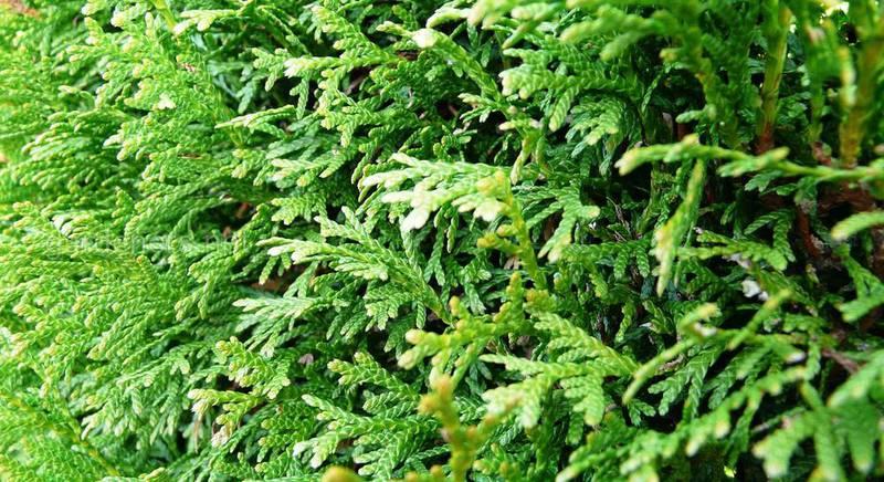 Популярные виды туи. Характеристика видов туи и особенности их выращивания