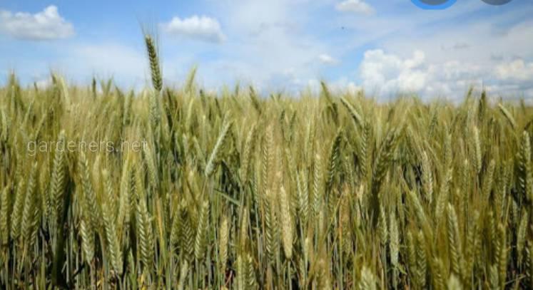 Плюси вирощування тритикале. Де застосовується?