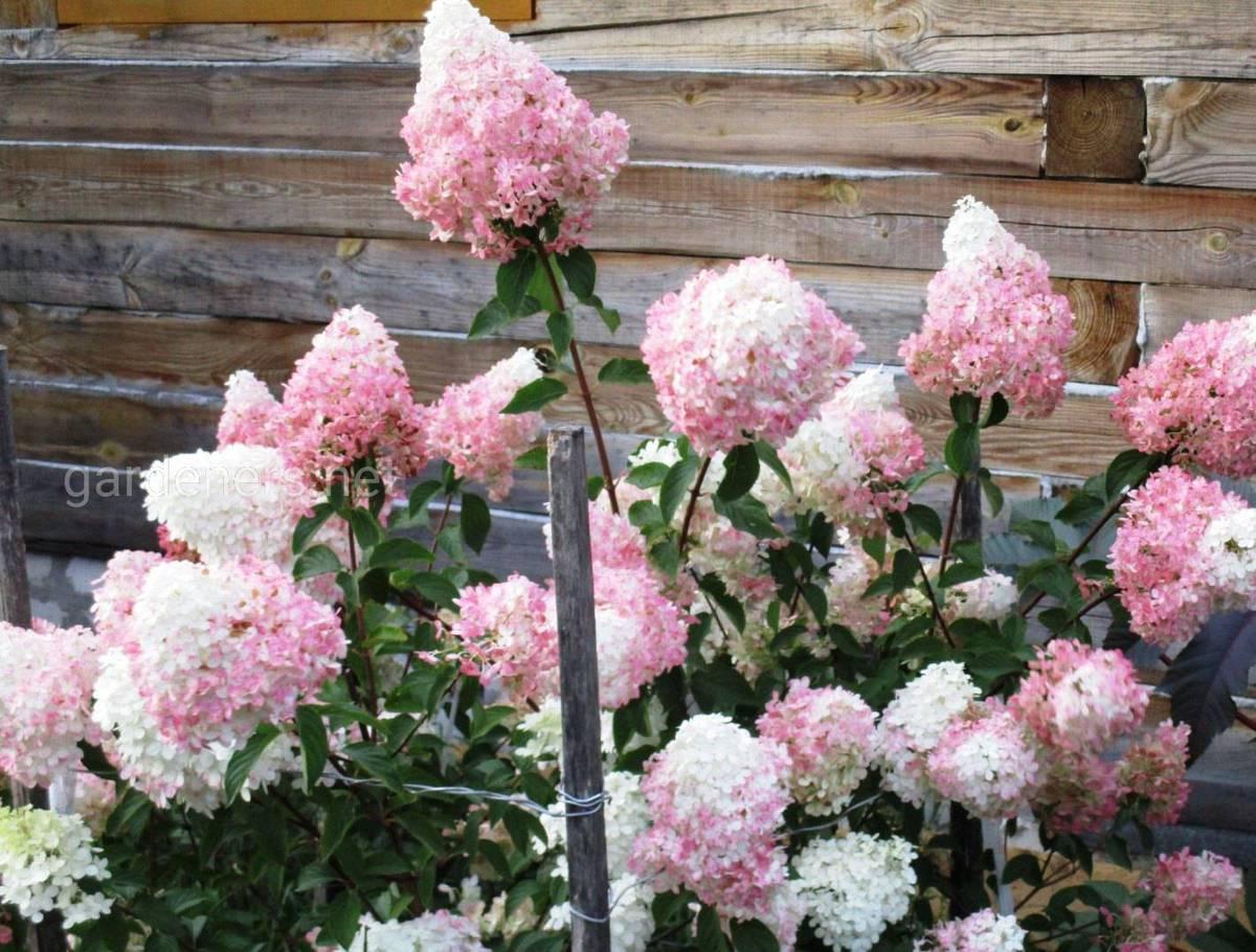 Гортензия садовая Vanille Fraise