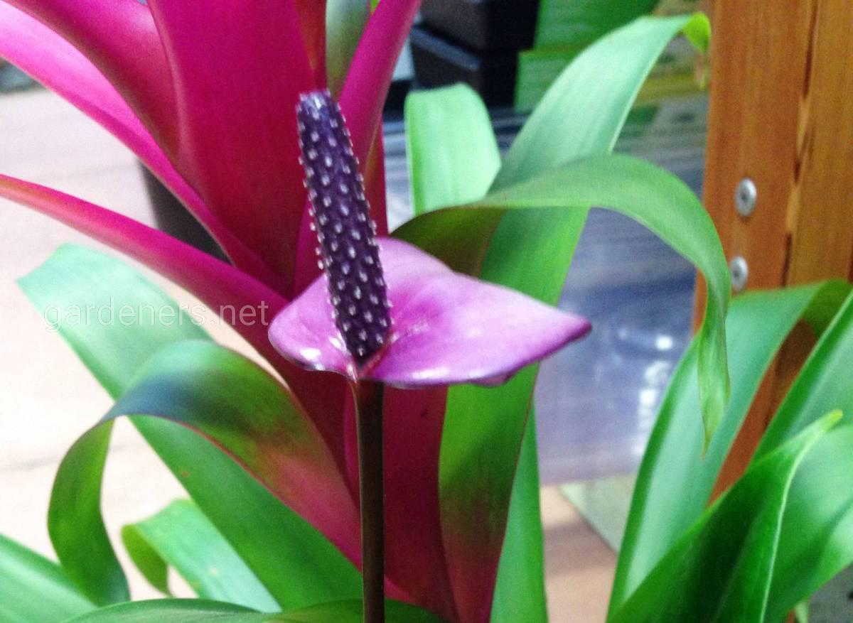 Purple Tulip Anthurium