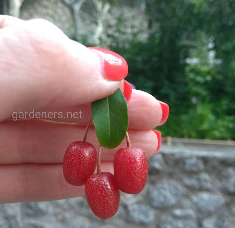 Компот из свежих ягод гуми