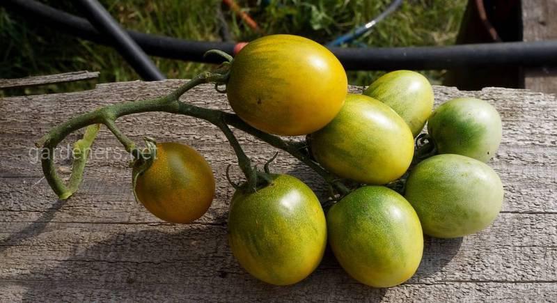 Топ-5 сортів зелених чері