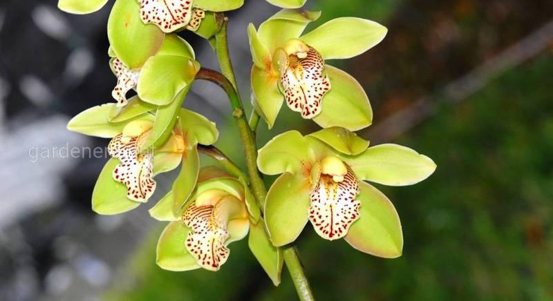орхидея цимбидиум.JPG
